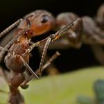 Ant liquid-food exchange (Trophollaxis)