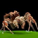 Portia jumping spider (Portia labiata)