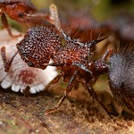 Shield ants (Meranoplus sp.) farming scale insects