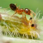 Crematogaster ants tending lycaenid caterpillar